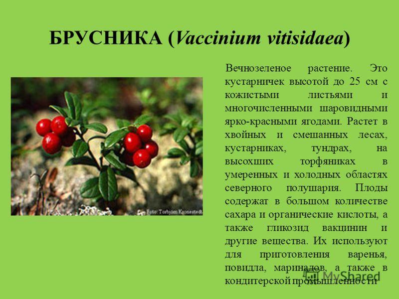 БРУСНИКА (Vaccinium vitisidaea) Вечнозеленое растение. Это кустарничек высотой до 25 см с кожистыми листьями и многочисленными шаровидными ярко-красными ягодами. Растет в хвойных и смешанных лесах, кустарниках, тундрах, на высохших торфяниках в умере