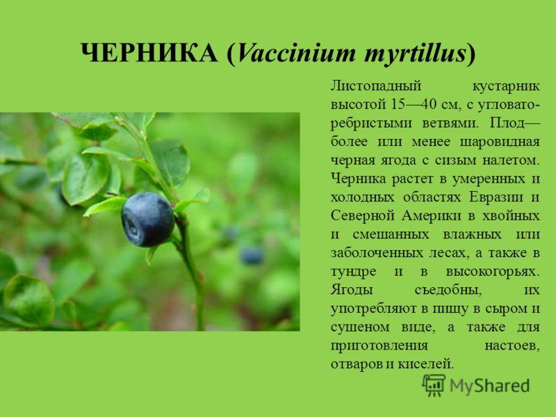 ЧЕРНИКА (Vaccinium myrtillus) Листопадный кустарник высотой 1540 см, с угловато- ребристыми ветвями. Плод более или менее шаровидная черная ягода с сизым налетом. Черника растет в умеренных и холодных областях Евразии и Северной Америки в хвойных и с