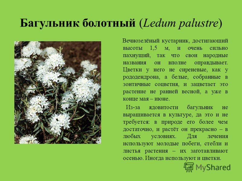 Багульник болотный (Ledum palustre) Вечнозелёный кустарник, достигающий высоты 1,5 м, и очень сильно пахнущий, так что свои народные названия он вполне оправдывает. Цветки у него не сиреневые, как у рододендрона, а белые, собранные в зонтичные соцвет