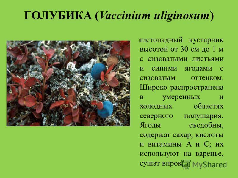 ГОЛУБИКА (Vaccinium uliginosum) листопадный кустарник высотой от 30 см до 1 м с сизоватыми листьями и синими ягодами с сизоватым оттенком. Широко распространена в умеренных и холодных областях северного полушария. Ягоды съедобны, содержат сахар, кисл
