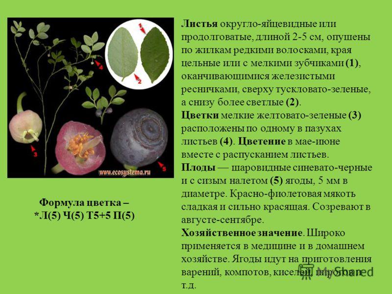 Листья округло-яйцевидные или продолговатые, длиной 2-5 см, опушены по жилкам редкими волосками, края цельные или с мелкими зубчиками (1), оканчивающимися железистыми ресничками, сверху тускловато-зеленые, а снизу более светлые (2). Цветки мелкие жел