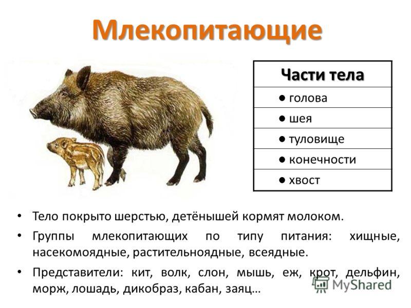 Млекопитающие Части тела голова шея туловище конечности хвост Тело покрыто шерстью, детёнышей кормят молоком. Группы млекопитающих по типу питания: хищные, насекомоядные, растительноядные, всеядные. Представители: кит, волк, слон, мышь, еж, крот, дел