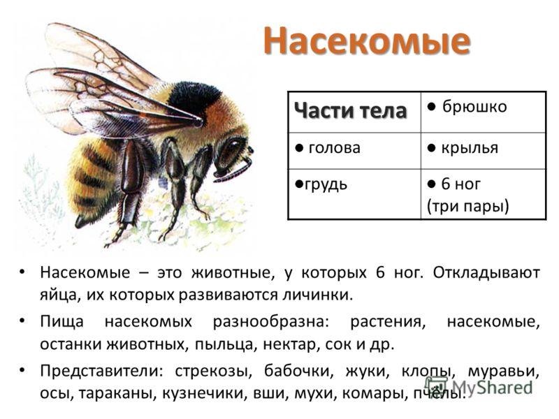 Части тела брюшко голова крылья грудь 6 ног (три пары) Насекомые – это животные, у которых 6 ног. Откладывают яйца, их которых развиваются личинки. Пища насекомых разнообразна: растения, насекомые, останки животных, пыльца, нектар, сок и др. Представ