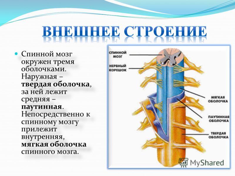 Спинной мозг окружен тремя оболочками. Наружная – твердая оболочка, за ней лежит средняя – паутинная. Непосредственно к спинному мозгу прилежит внутренняя, мягкая оболочка спинного мозга.