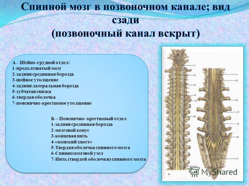 Б – Пояснично–крестцовый отдел 1-задняя срединная борозда 2-мозговой конус 3-концевая нить 4-«конский хвост» 5-Твердая оболочка спинного мозга 6-Спинномозговой узел 7-Нить (твердой оболочки) спинного мозга А - Шейно-грудной отдел: 1-продолговатый моз