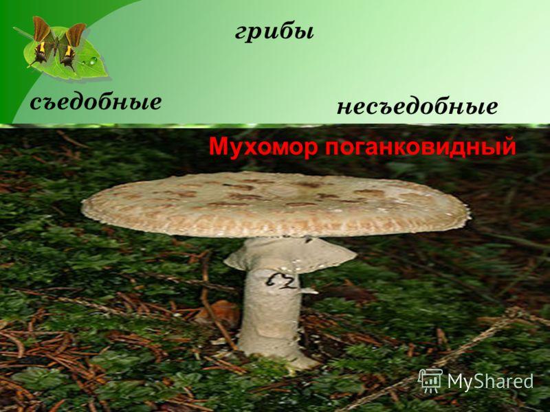 грибы съедобные несъедобные Мухомор поганковидный