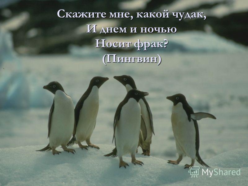 Скажите мне, какой чудак, И днем и ночью Носит фрак? (Пингвин)