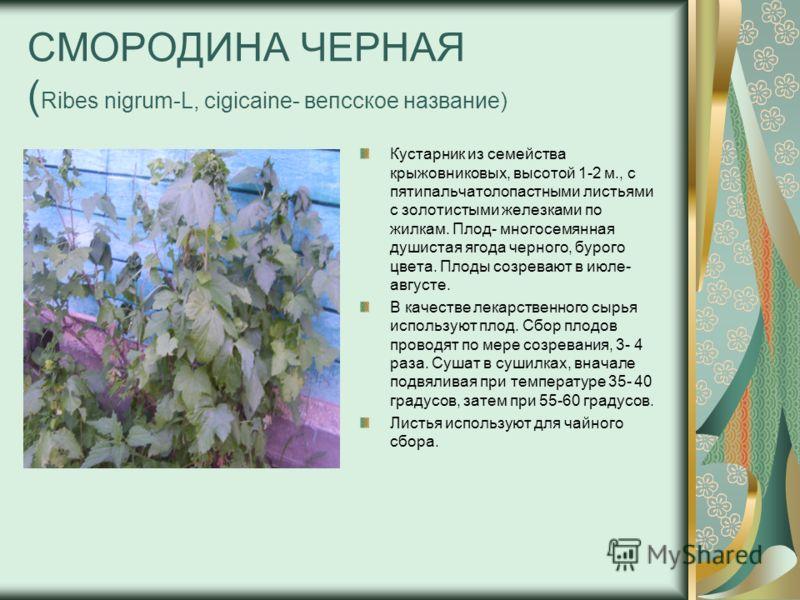 СМОРОДИНА ЧЕРНАЯ ( Ribes nigrum-L, cigicaine- вепсское название) Кустарник из семейства крыжовниковых, высотой 1-2 м., с пятипальчатолопастными листьями с золотистыми железками по жилкам. Плод- многосемянная душистая ягода черного, бурого цвета. Плод