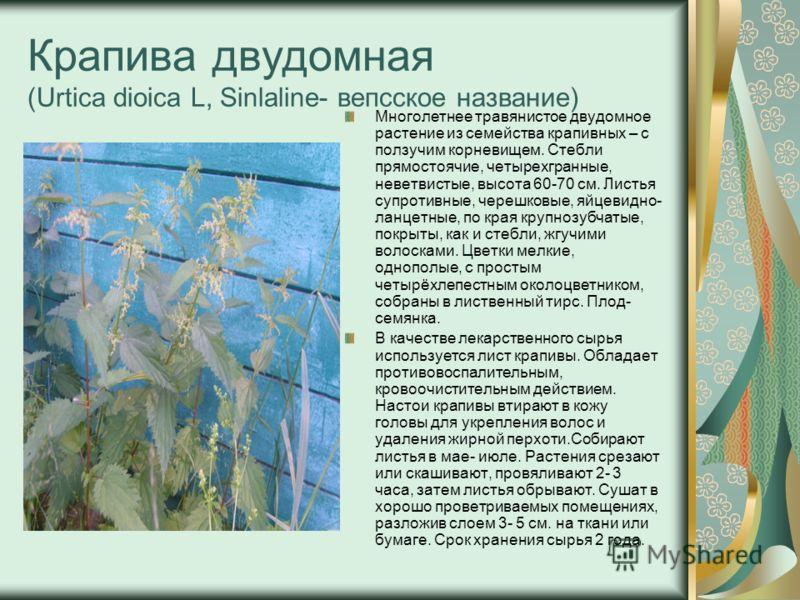 Крапива двудомная (Urtica dioica L, Sinlaline- вепсское название) Многолетнее травянистое двудомное растение из семейства крапивных – с ползучим корневищем. Стебли прямостоячие, четырехгранные, неветвистые, высота 60-70 см. Листья супротивные, черешк