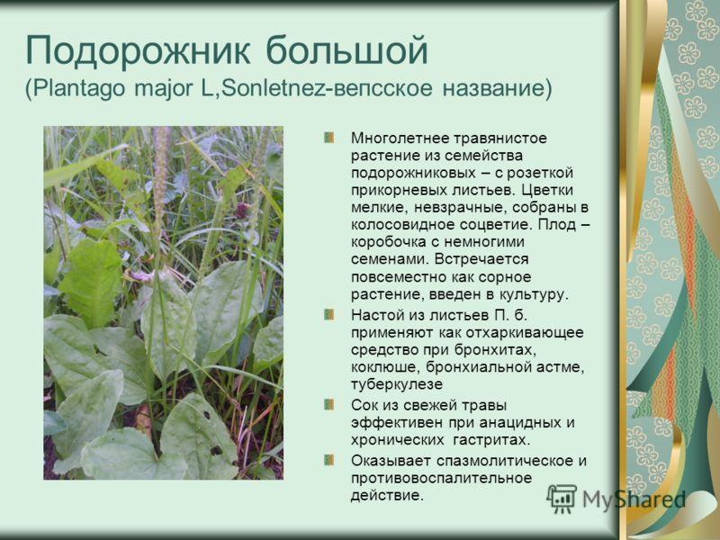 Подорожник большой (Plantago major L,Sonletnez-вепсское название) Многолетнее травянистое растение из семейства подорожниковых – с розеткой прикорневых листьев. Цветки мелкие, невзрачные, собраны в колосовидное соцветие. Плод – коробочка с немногими