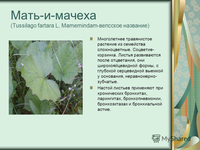 Мать-и-мачеха (Tussilago fartara L, Mamemindam-вепсское название) Многолетнее травянистое растение из семейства сложноцветные. Соцветие- корзинка. Листья развиваются после отцветания, они широкояйцевидной формы, с глубокой серцевидной выемкой у основ