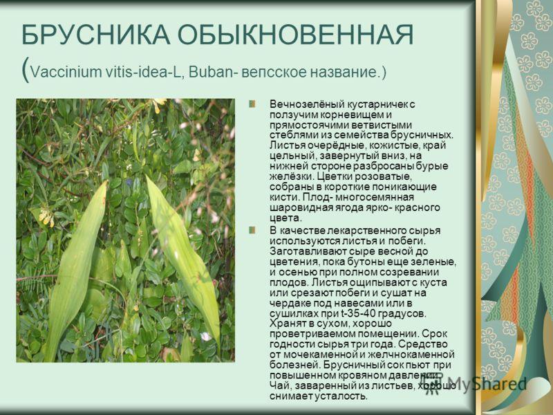 БРУСНИКА ОБЫКНОВЕННАЯ ( Vaccinium vitis-idea-L, Buban- вепсское название.) Вечнозелёный кустарничек с ползучим корневищем и прямостоячими ветвистыми стеблями из семейства брусничных. Листья очерёдные, кожистые, край цельный, завернутый вниз, на нижне