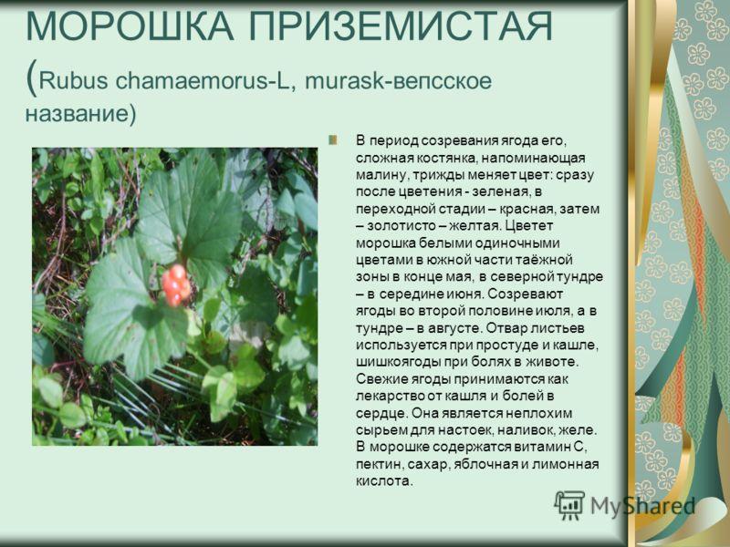 МОРОШКА ПРИЗЕМИСТАЯ ( Rubus chamaemorus-L, murask-вепсское название) В период созревания ягода его, сложная костянка, напоминающая малину, трижды меняет цвет: сразу после цветения - зеленая, в переходной стадии – красная, затем – золотисто – желтая.