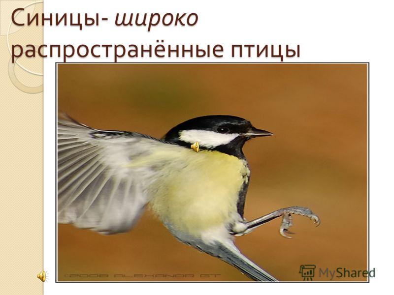 Синицы - широко распространённые птицы