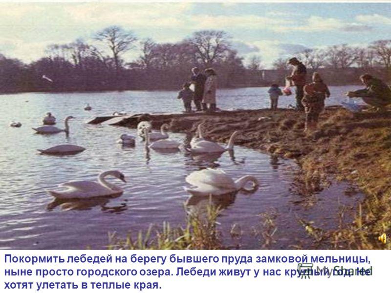 Покормить лебедей на берегу бывшего пруда замковой мельницы, ныне просто городского озера. Лебеди живут у нас круглый год. Не хотят улетать в теплые края.