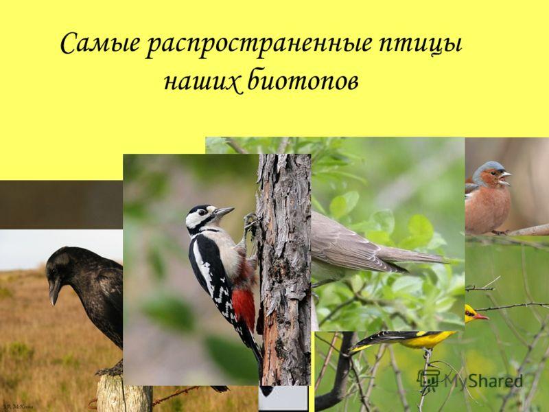 Самые распространенные птицы наших биотопов