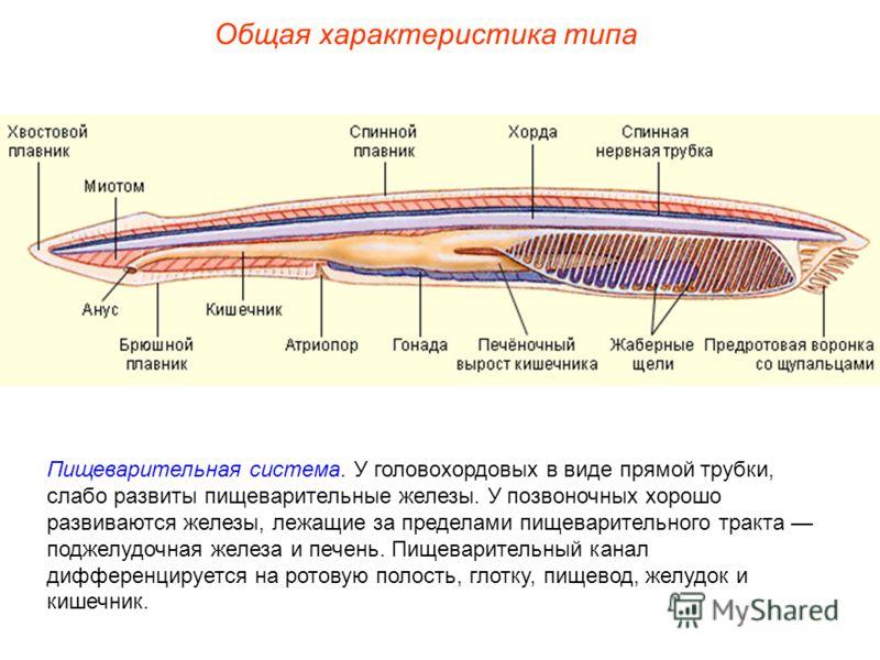 Общая характеристика типа Пищеварительная система. У головохордовых в виде прямой трубки, слабо развиты пищеварительные железы. У позвоночных хорошо развиваются железы, лежащие за пределами пищеварительного тракта поджелудочная железа и печень. Пищев