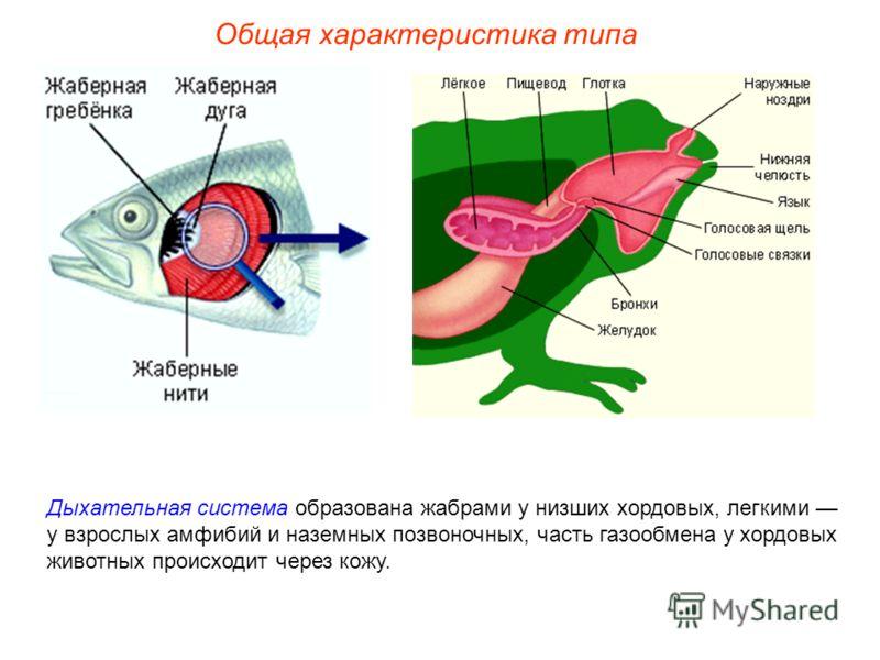 Общая характеристика типа Дыхательная система образована жабрами у низших хордовых, легкими у взрослых амфибий и наземных позвоночных, часть газообмена у хордовых животных происходит через кожу.