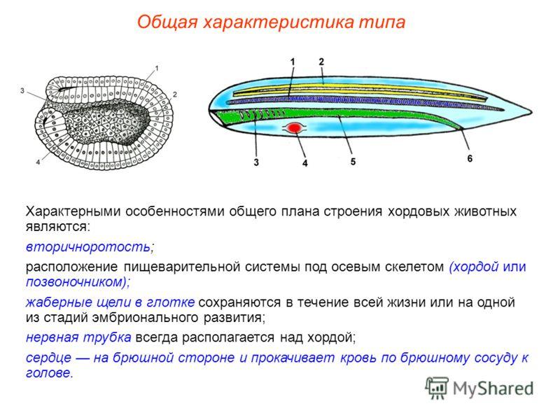 Общая характеристика типа Характерными особенностями общего плана строения хордовых животных являются: вторичноротость; расположение пищеварительной системы под осевым скелетом (хордой или позвоночником); жаберные щели в глотке сохраняются в течение