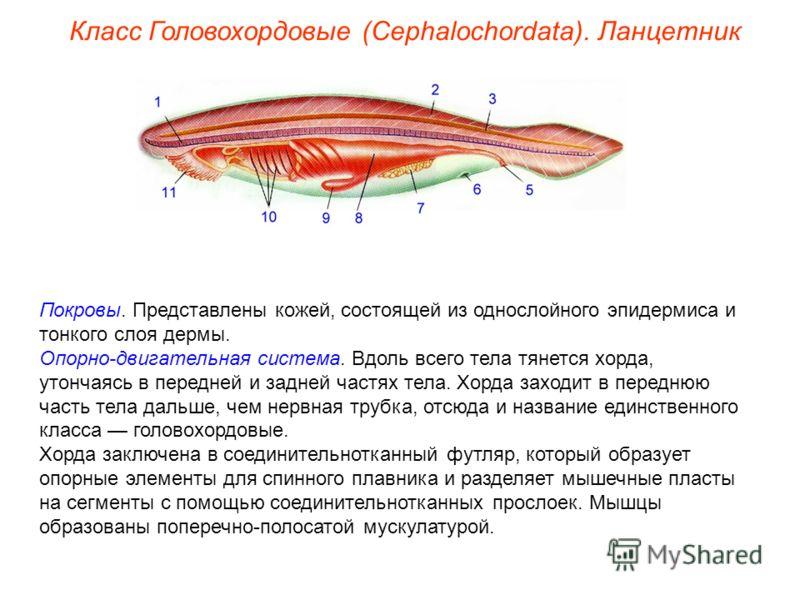 Покровы. Представлены кожей, состоящей из однослойного эпидермиса и тонкого слоя дермы. Опорно-двигательная система. Вдоль всего тела тянется хорда, утончаясь в передней и задней частях тела. Хорда заходит в переднюю часть тела дальше, чем нервная тр