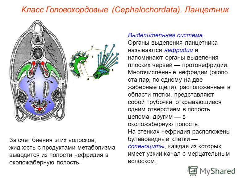 Класс Головохордовые (Cephalochordata). Ланцетник Выделительная система. Органы выделения ланцетника называются нефридии и напоминают органы выделения плоских червей протонефридии. Многочисленные нефридии (около ста пар, по одному на две жаберные щел
