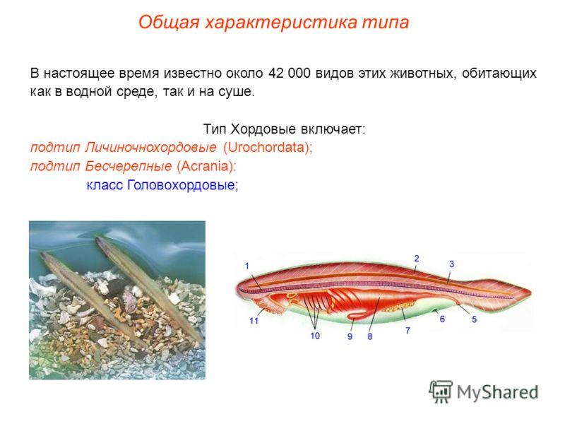 Общая характеристика типа В настоящее время известно около 42 000 видов этих животных, обитающих как в водной среде, так и на суше. Тип Хордовые включает: подтип Личиночнохордовые (Urochordata); подтип Бесчерепные (Acrania): класс Головохордовые;