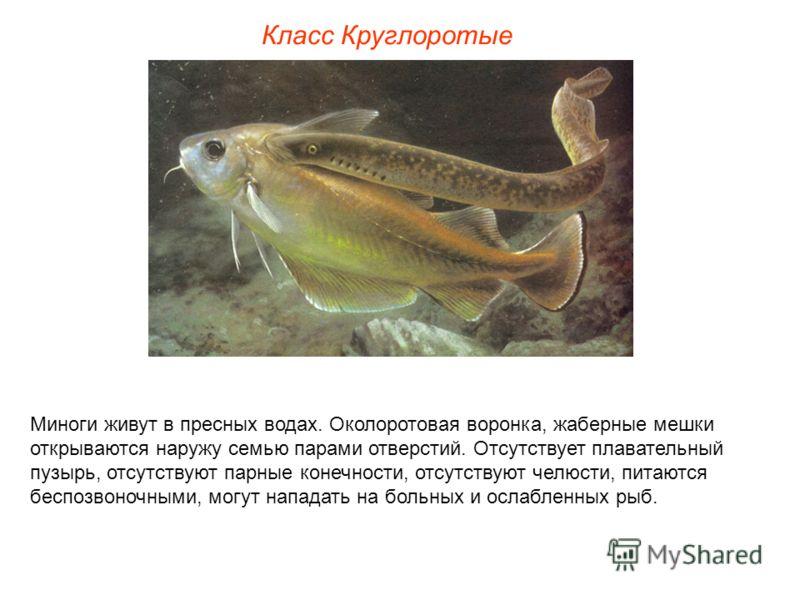 Миноги живут в пресных водах. Околоротовая воронка, жаберные мешки открываются наружу семью парами отверстий. Отсутствует плавательный пузырь, отсутствуют парные конечности, отсутствуют челюсти, питаются беспозвоночными, могут нападать на больных и о