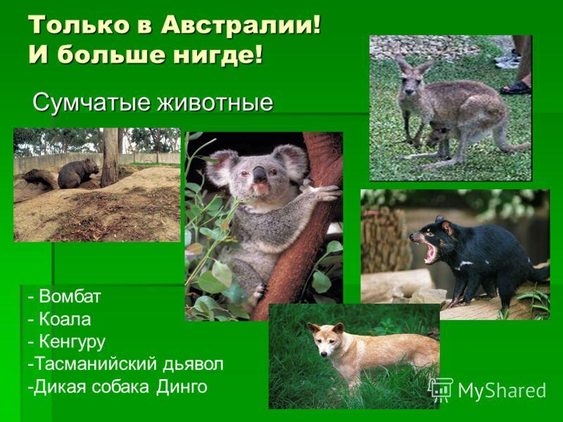 Только в Австралии! И больше нигде! Сумчатые животные - Вомбат - Коала - Кенгуру -Тасманийский дьявол -Дикая собака Динго