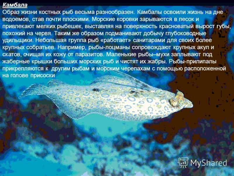 Это интересно Костные рыбы обширный и процветающий класс позвоночных животных, включающий около двадцати тысяч видов. Основу их скелета составляют прочные кости и настоящий позвоночник. Головной мозг костных рыб находится внутри костяной капсулы – че