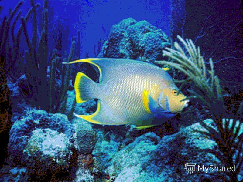 Рыба-прилипала Некоторые рыбы предприняли попытки освоить сушу и воздушное пространство. Ильные прыгуны прекрасно себя чувствуют в береговых зарослях тропических морей. Спасаясь от хищников, морские летучие рыбы развивают скорость до тридцати километ