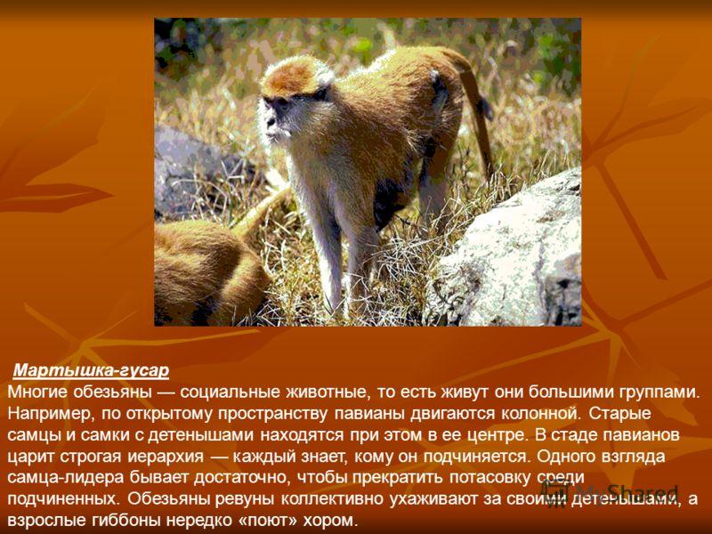 Это интересно Самый интересный для человека отряд млекопитающих приматы (от латинского слова primus первый). Далекими предками приматов были древние насекомоядные животные, которые перешли к жизни на деревьях. Промежуточное положение между насекомояд