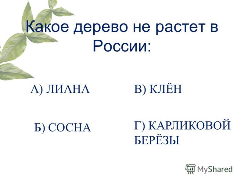 Какое дерево не растет в России: А) ЛИАНА Б) СОСНА Г) КАРЛИКОВОЙ БЕРЁЗЫ В) КЛЁН