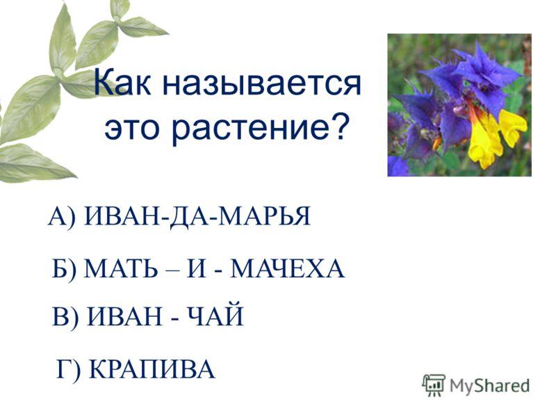 Как называется это растение? А) ИВАН-ДА-МАРЬЯ Б) МАТЬ – И - МАЧЕХА В) ИВАН - ЧАЙ Г) КРАПИВА