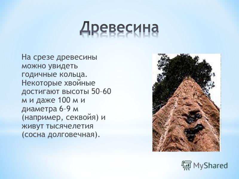 На срезе древесины можно увидеть годичные кольца. Некоторые хвойные достигают высоты 50–60 м и даже 100 м и диаметра 6–9 м (например, секвойя) и живут тысячелетия (сосна долговечная).