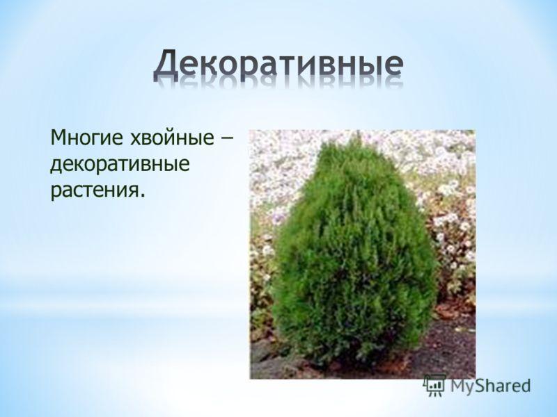 Многие хвойные – декоративные растения.