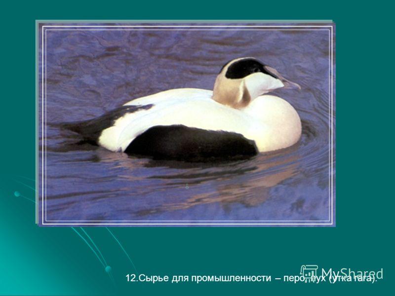 12.Сырье для промышленности – перо, пух (утка гага).