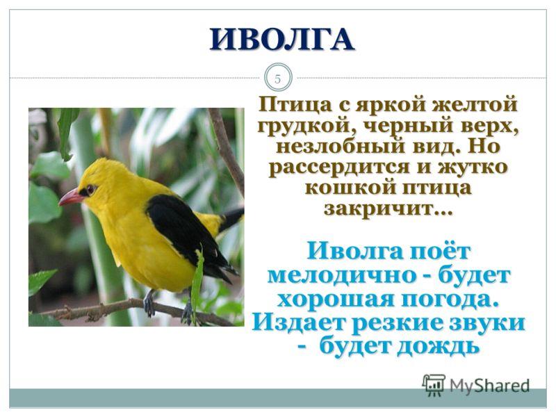 5 ИВОЛГА Птица с яркой желтой грудкой, черный верх, незлобный вид. Но рассердится и жутко кошкой птица закричит… Иволга поёт мелодично - будет хорошая погода. Издает резкие звуки - будет дождь