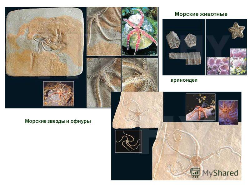 Морские животные Морские звезды и офиуры криноидеи