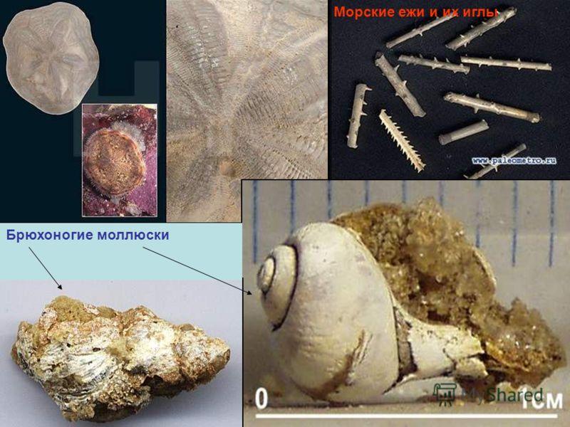 Брюхоногие моллюски Морские ежи и их иглы