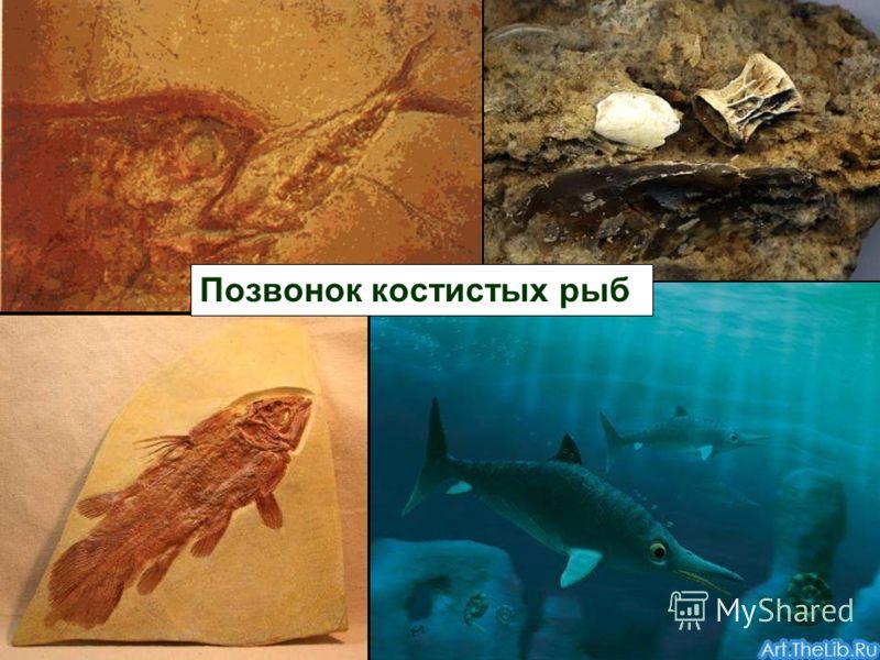 Позвонок костистых рыб