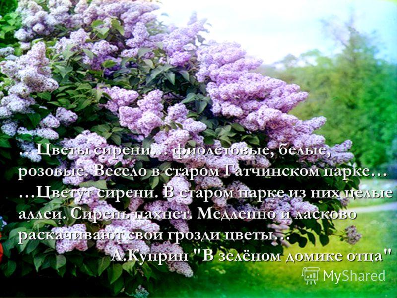 Цветы сирени… фиолетовые, белые, розовые. Весело в старом Гатчинском парке… …Цветы сирени… фиолетовые, белые, розовые. Весело в старом Гатчинском парке… …Цветут сирени. В старом парке из них целые аллеи. Сирень пахнет. Медленно и ласково раскачивают