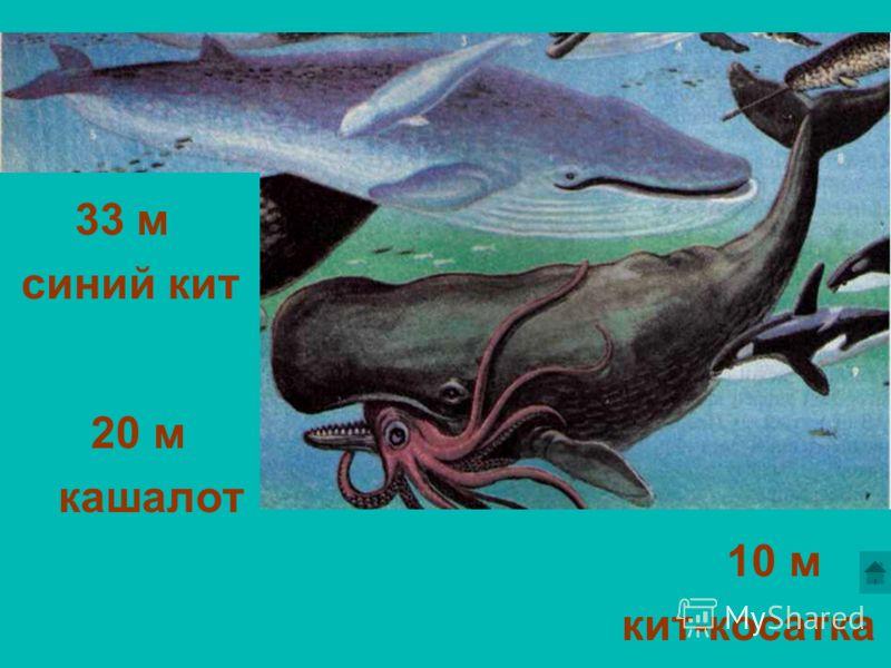 Длинное ухо, комочек пуха, прыгает ловко, любит морковку. Шелестя, шурша травой, Проползает кнут живой. Вот он встал и зашипел: Подходи, кто очень смел. Свернёшь – клин, Развернёшь – блин. 10 м кит-косатка 33 м синий кит 20 м кашалот