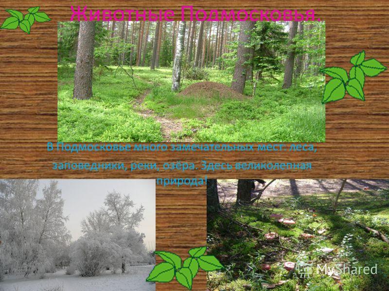 Животные Подмосковья. В Подмосковье много замечательных мест: леса, заповедники, реки, озёра. Здесь великолепная природа!