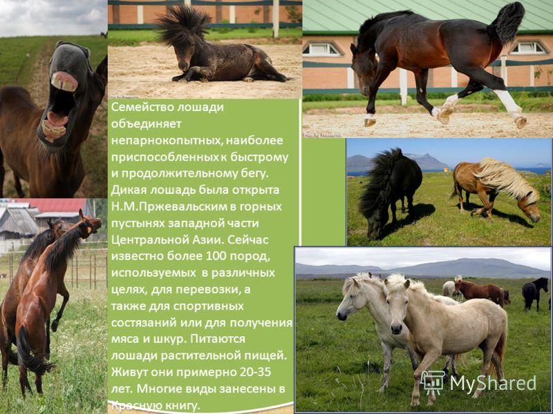 Семейство лошади объединяет непарнокопытных, наиболее приспособленных к быстрому и продолжительному бегу. Дикая лошадь была открыта Н.М.Пржевальским в горных пустынях западной части Центральной Азии. Сейчас известно более 100 пород, используемых в ра