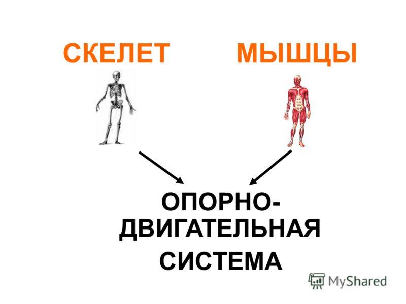 СКЕЛЕТМЫШЦЫ ОПОРНО- ДВИГАТЕЛЬНАЯ СИСТЕМА