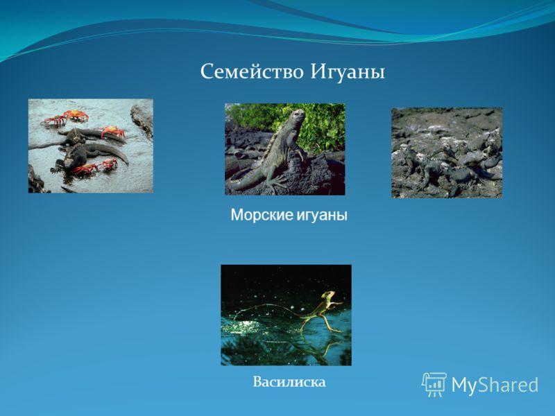 Семейство Игуаны Василиска Морские игуаны
