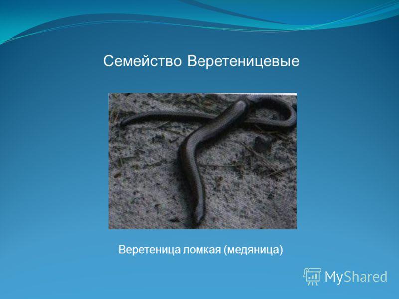 Семейство Веретеницевые Веретеница ломкая (медяница)