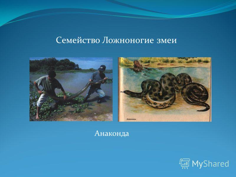 Семейство Ложноногие змеи Анаконда