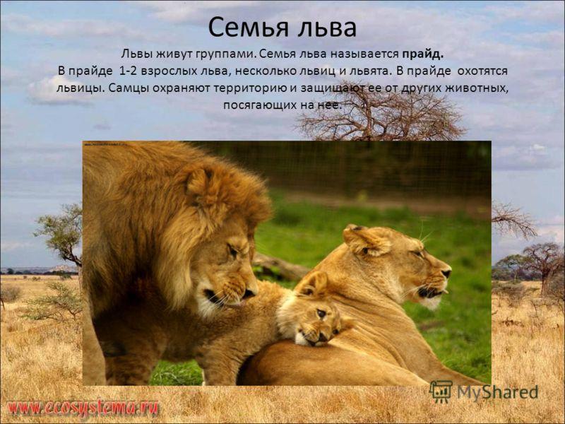 Семья льва Львы живут группами. Семья льва называется прайд. В прайде 1-2 взрослых льва, несколько львиц и львята. В прайде охотятся львицы. Самцы охраняют территорию и защищают ее от других животных, посягающих на нее.