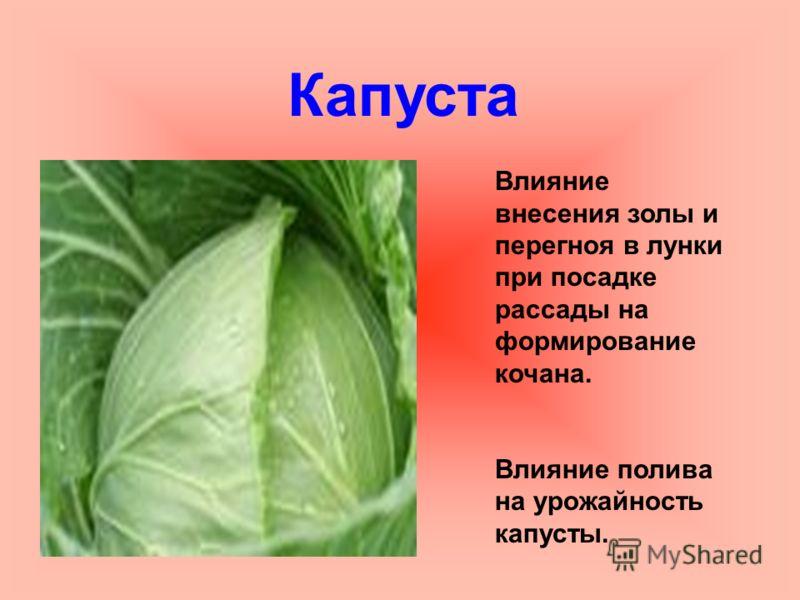 Капуста Влияние внесения золы и перегноя в лунки при посадке рассады на формирование кочана. Влияние полива на урожайность капусты.